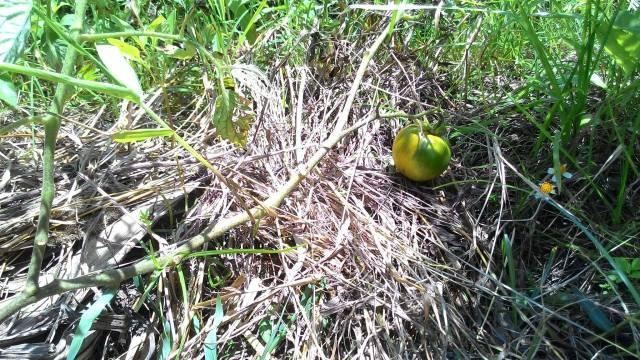 草生栽培黑柿仔番茄